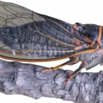 Cicadas: Wyoming's summer songsters