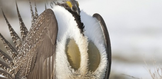 Greater sage grouse: The bird that brought the  West together