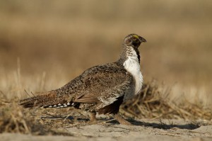 sage-grouse-0