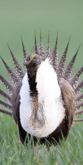 sage-grouse-1