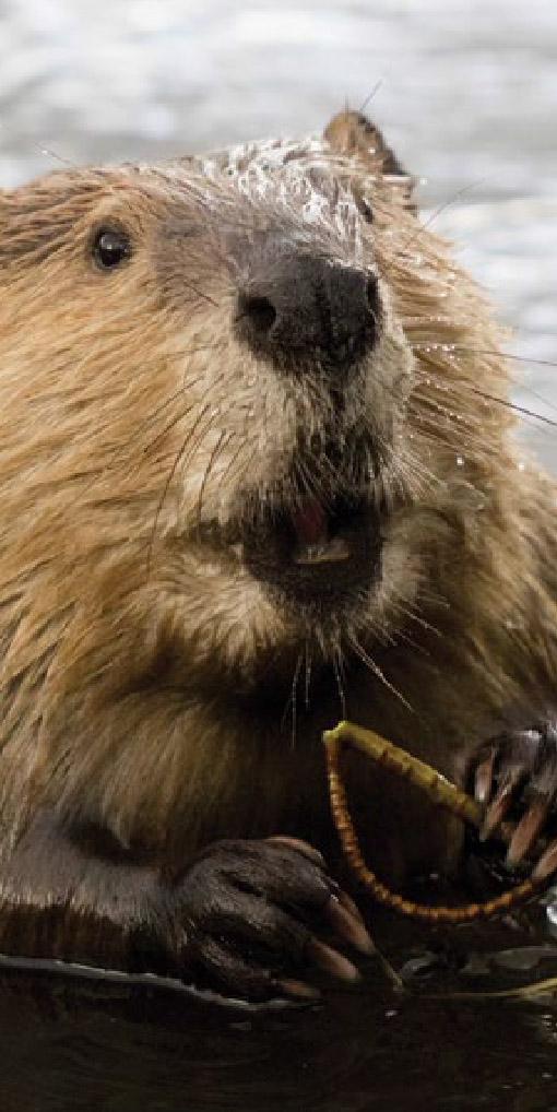 Beaver Dreams