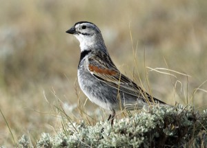 McCrown's longspur, one of the birds Mahoney looked at in her study about the impacts of wind energy development to grassland birds. Photo courtesy Anika Mahoney.