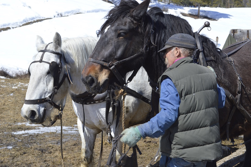 Rancher Kevin Campbell harnesses his team of horses to deliver hay to elk at the Dell Creek Feedground. Photo by Emilene Ostlind.