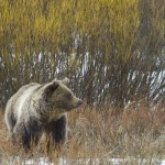 Grizzlies and Whitebarks