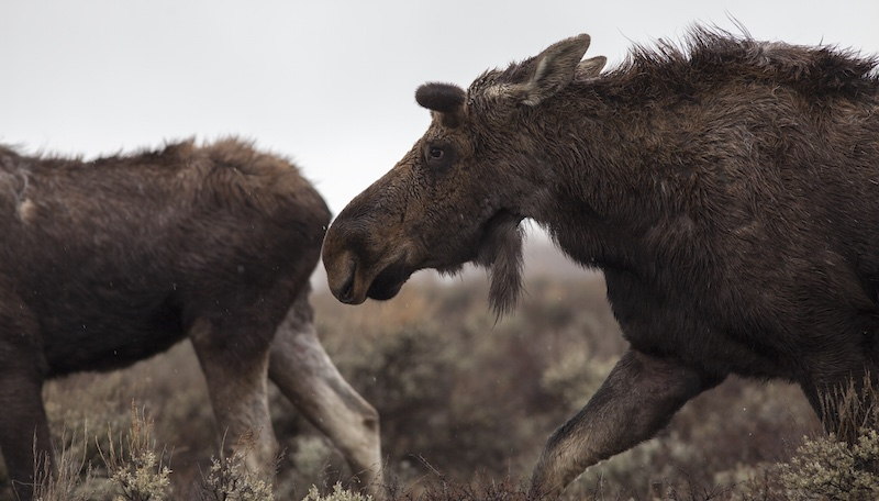 Essay Writing On Newspaper Moose In Jackson Hole Photo By Charlie Reinertsen Essay On My Family In English also Health Essay Western Confluence  Essay Wyoming Wins With Wildlife Custom Term Papers And Essays