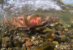 Cutthroat trout in Yellowstone. Photo by Jay Fleming.