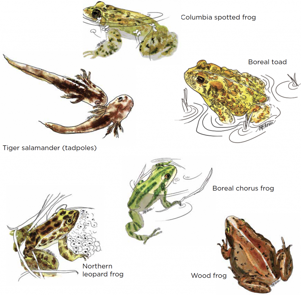 ROCKY MOUNTAIN AMPHIBIAN PROJECT TARGET SPECIES