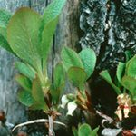 Close up photo of bog bearberry foliage and flowers
