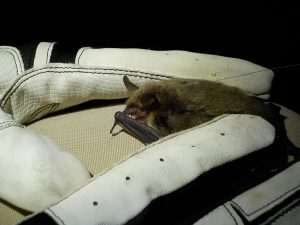 Photo of gloved hand holding a bat with a tiny radio transmitter attached to its back