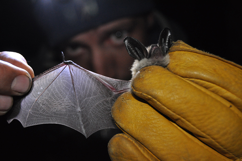 Photo of man at night holding up a bat and spreading its wing
