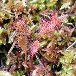 English sundew with moss