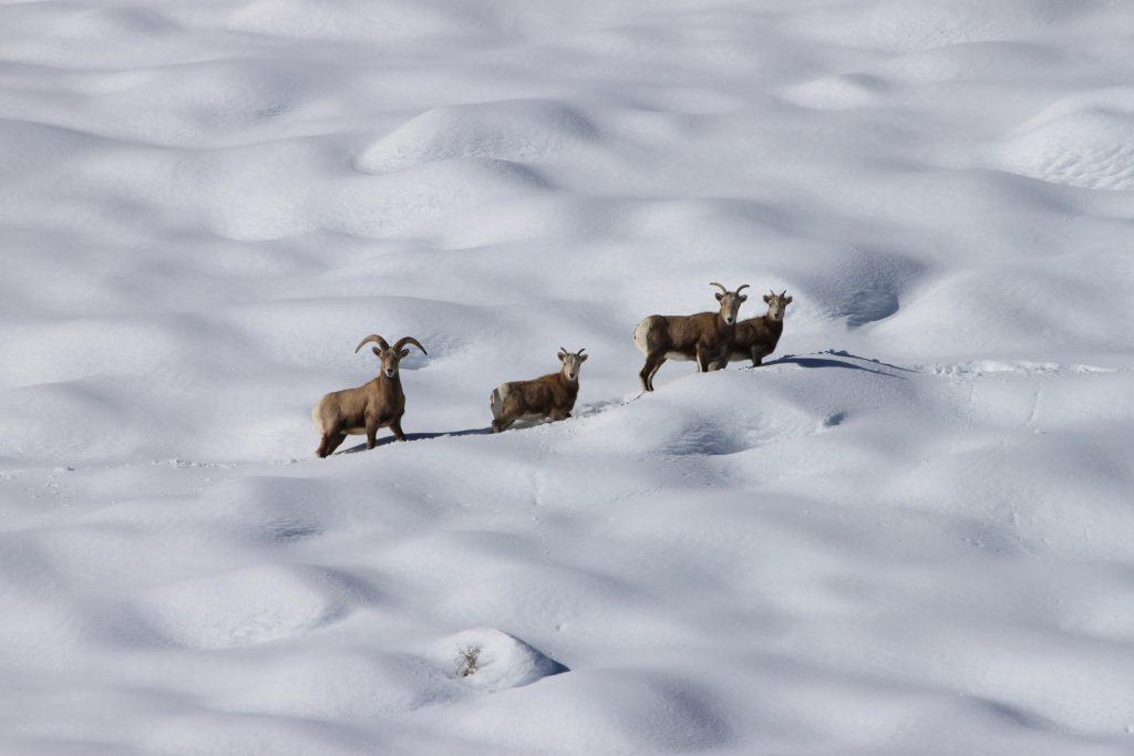 Four bighorn sheep walk in a line across a snowfield
