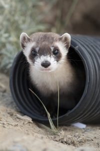 A black-footed ferret peers out from a black, plastic tube
