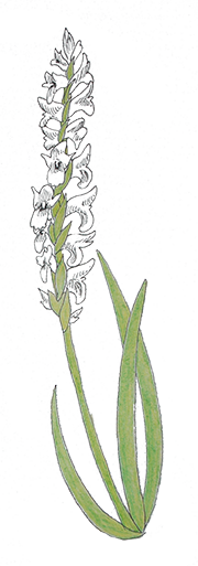 Colored pencil drawing of Ute ladies'-tresses orchid