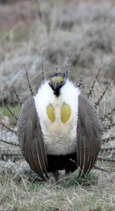 Sage grouse standing in grass and sagebrush